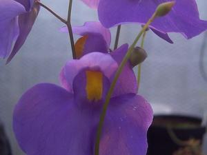 Multiplication d'<em>Utricularia</em>