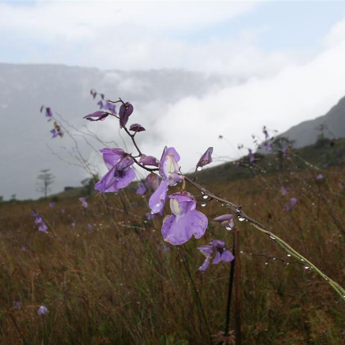 Terrestre ou épiphyte Utricularia humboldtii