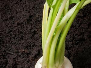 Semis et plantation du navet