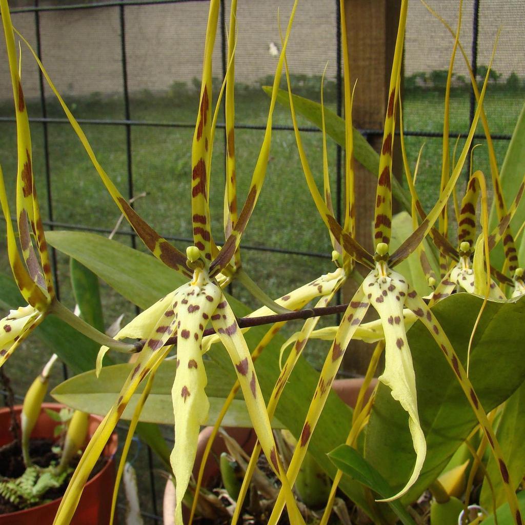 Brassia hybrides 'Edvah Loo' (Brassiaarcuigera x gireoudiana)