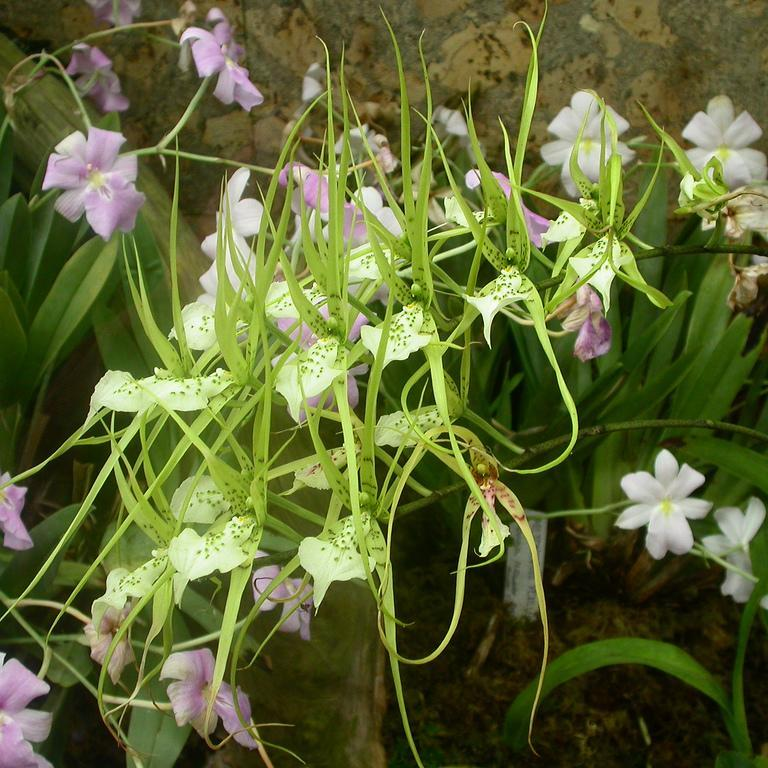 Brassia botaniques Brassia verrucosa