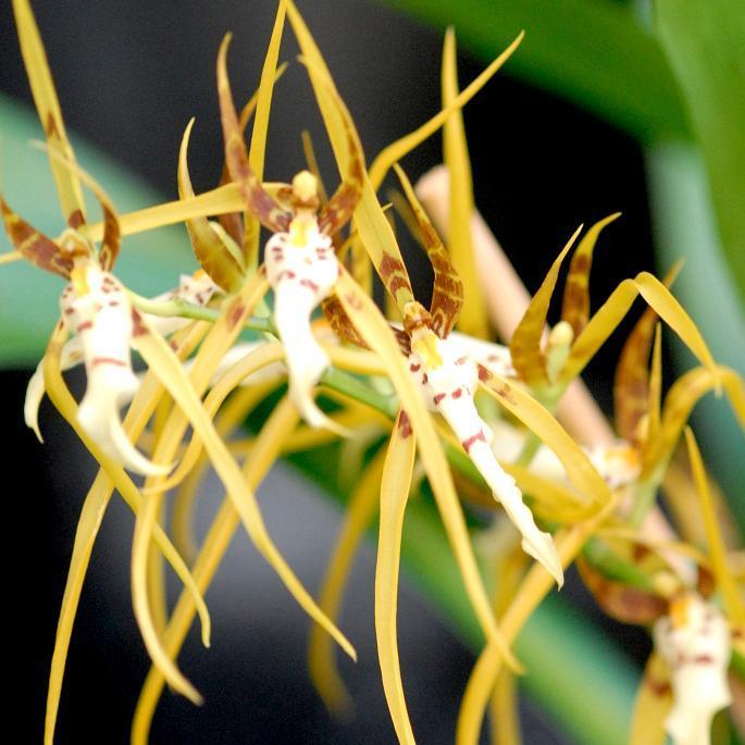 Brassia hybrides 'Chieftain' (Brassia arcuigera x verrucosa)