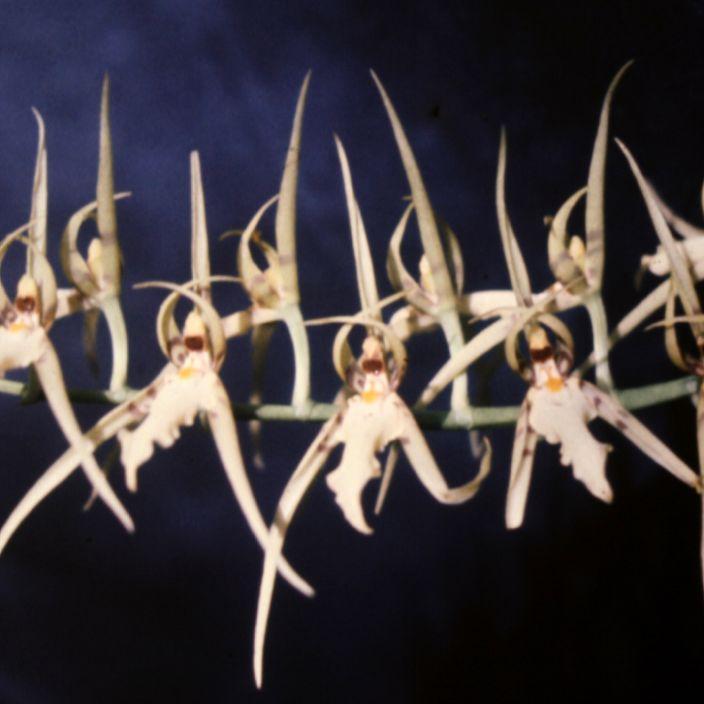 Brassia botaniques Brassia lanceana