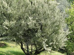 Plantation de <em>Colletia</em>