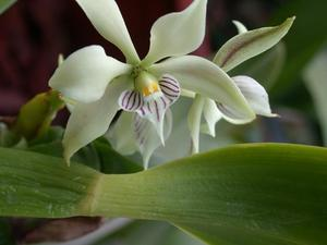 Culture et entretien d'<em>Epidendrum</em>