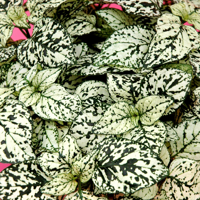 Plante aux éphélides (Hypoestes phyllostachya)