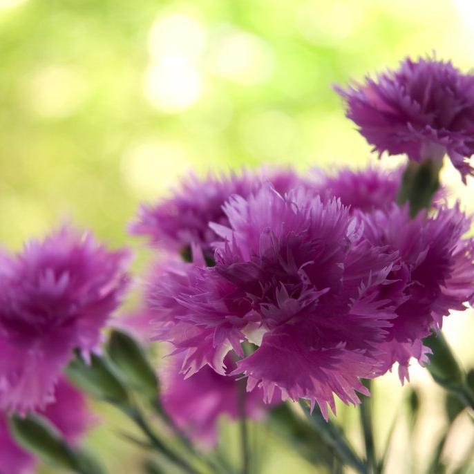Espèces vivaces Œillet mignardise, œillet plumeux (Dianthus plumarius)