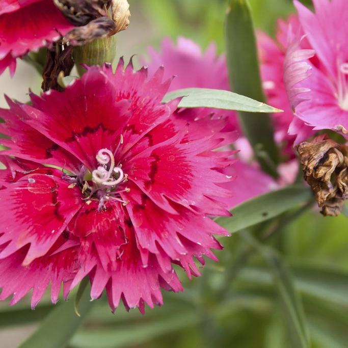Espèce annuelle Œillet de Chine (Dianthus chinensis)