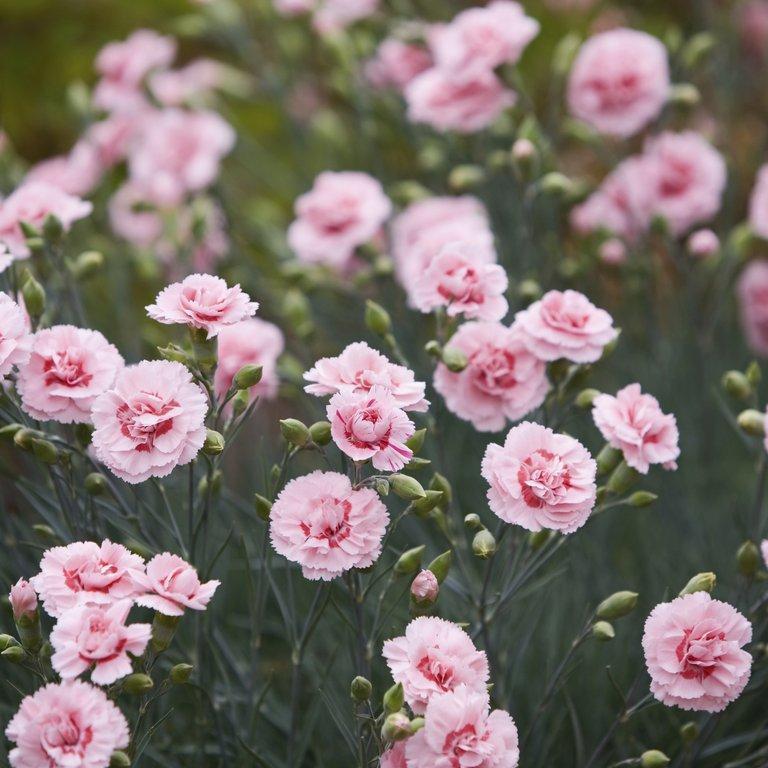 Espèces vivaces Œillet des fleuristes (Dianthus caryophyllus)