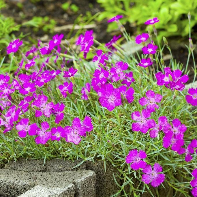Espèces vivaces Œillet couché (Dianthus deltoides)