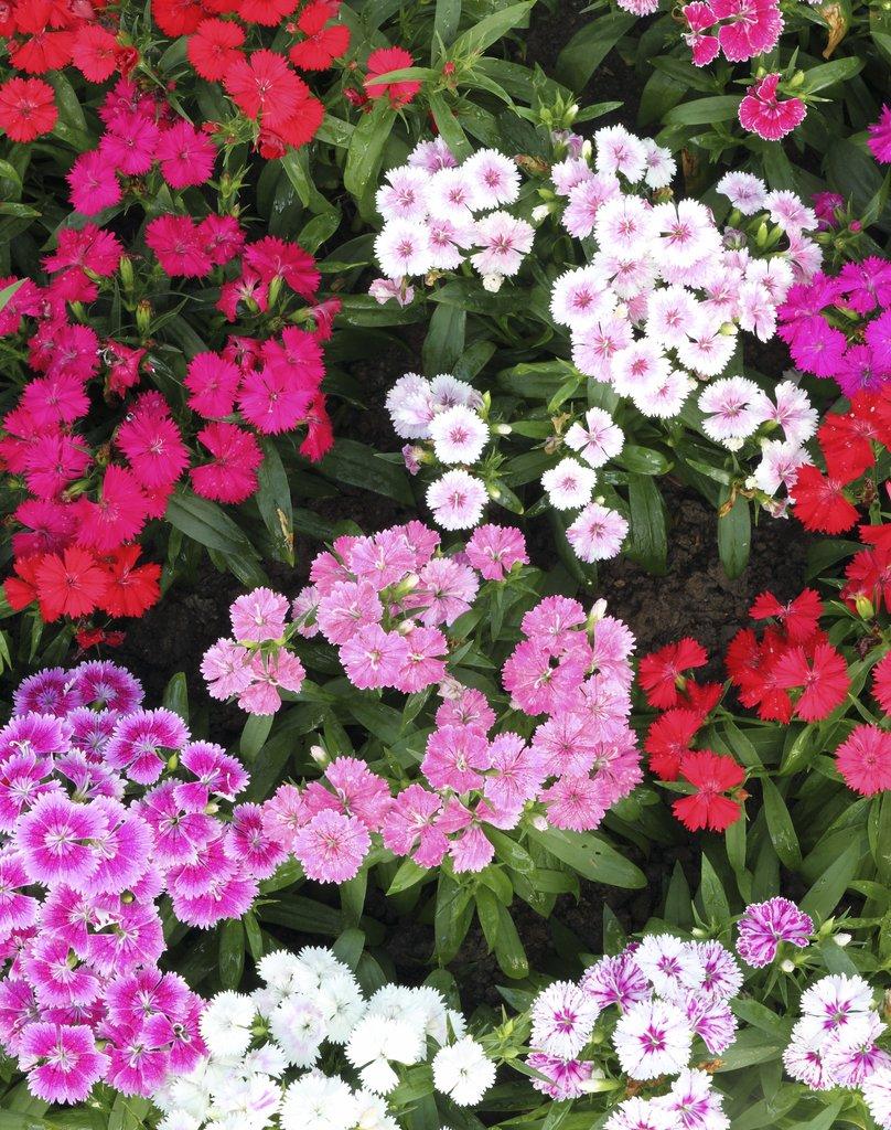 oeillet : semer et planter – ooreka
