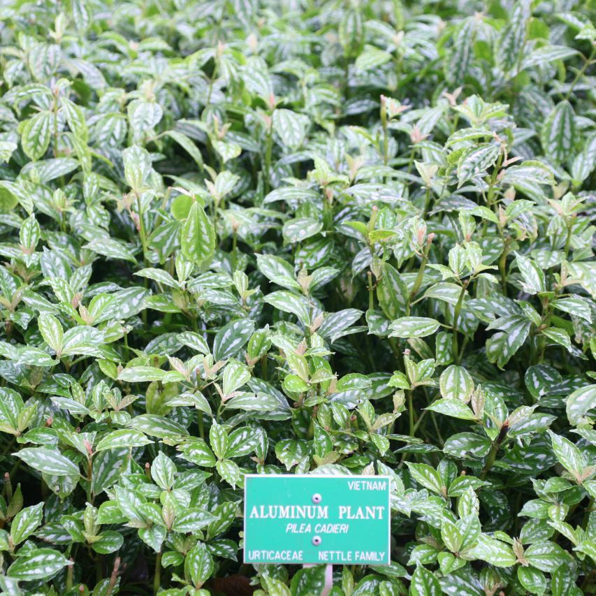 Plante aluminium (Pilea cadierei)