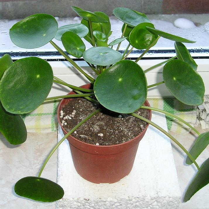Plante missionnaire (Pilea peperomioides)