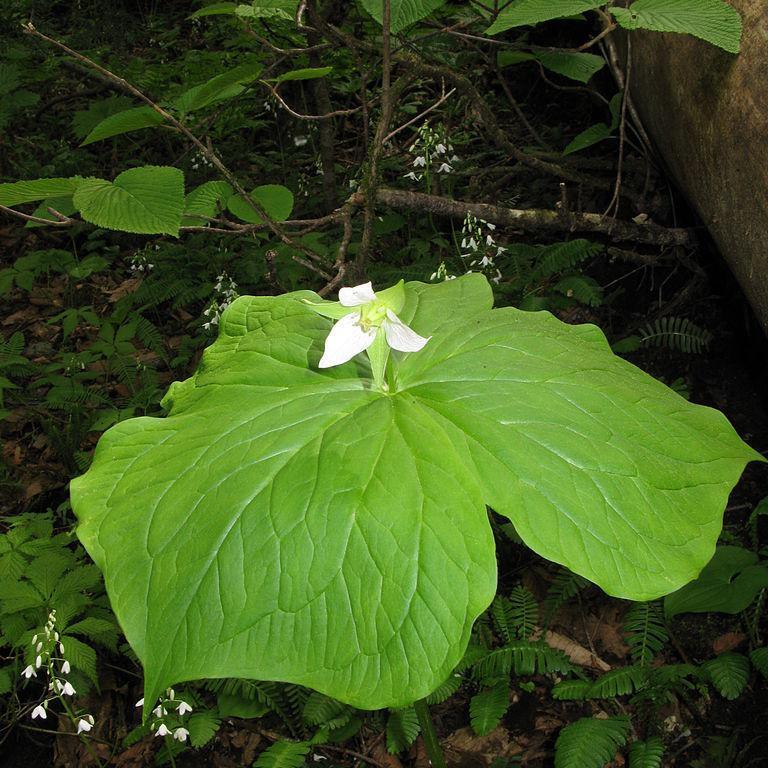 Trillium tschonoskii