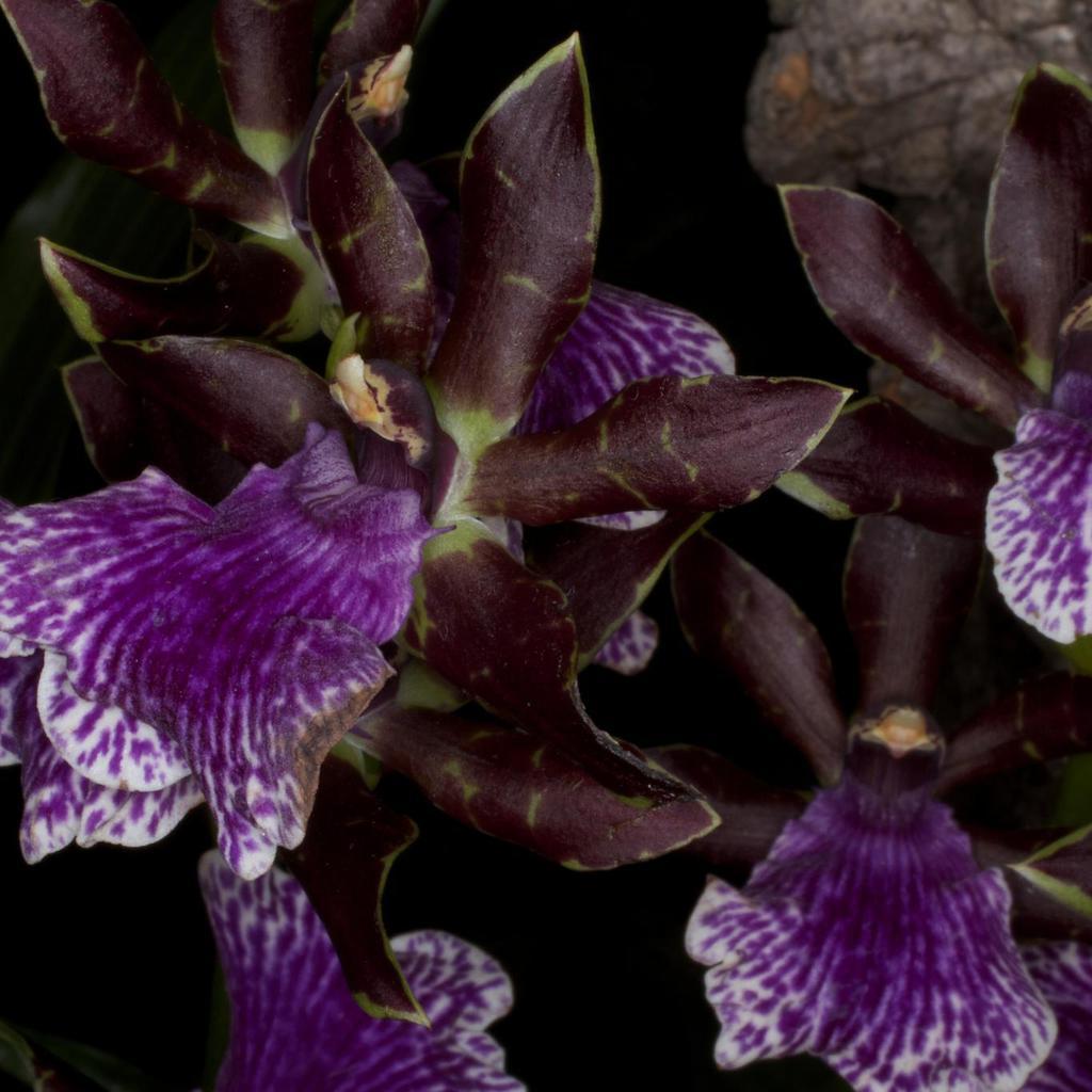 Zygopetalum botaniques Zygopetalum maculatum