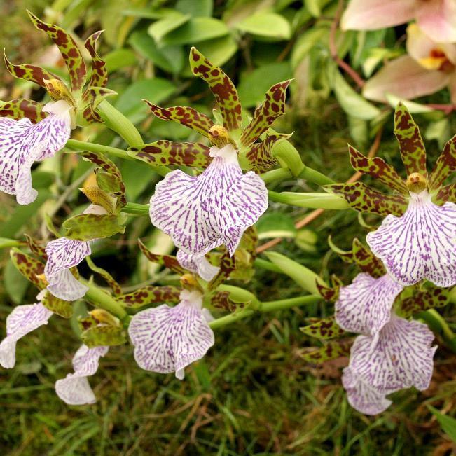 Zygopetalum botaniques Zygopetalum mackayii