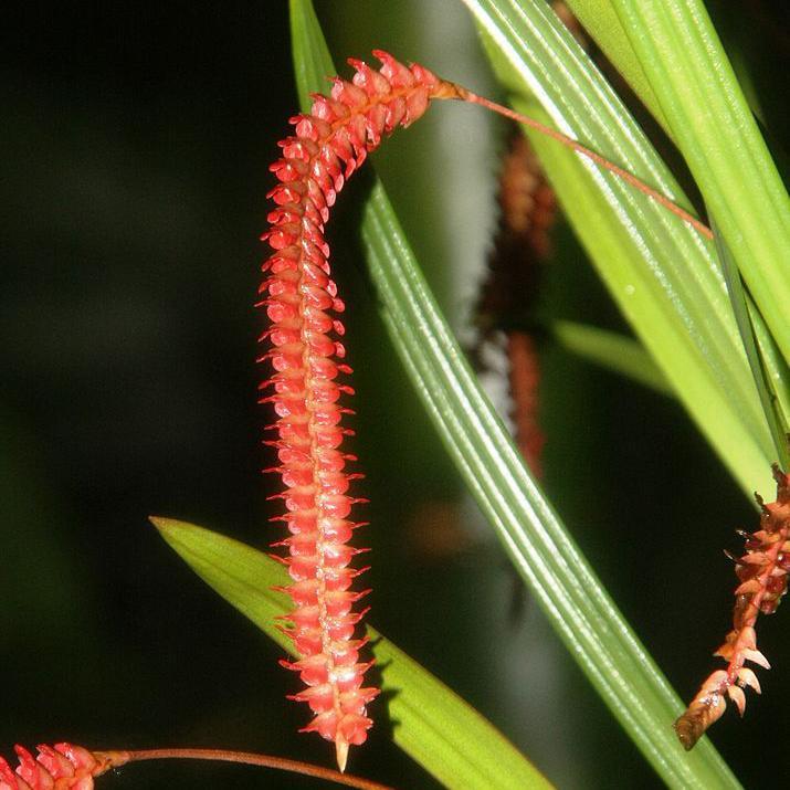 Dendrochilum botaniques Dendrochilum wenzelii