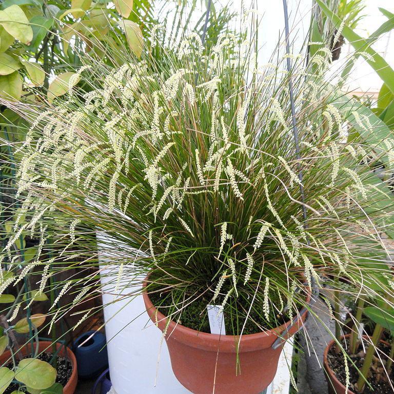 Dendrochilum botaniques Dendrochilum tenellum
