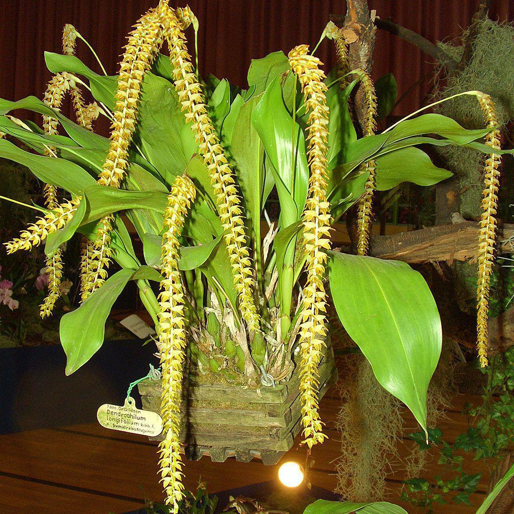 Dendrochilum botaniques Dendrochilum longifolium
