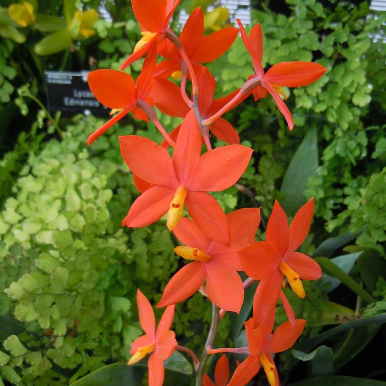 Encyclia botaniques Encyclia vitellina (syn. Prosthechea vitellina)
