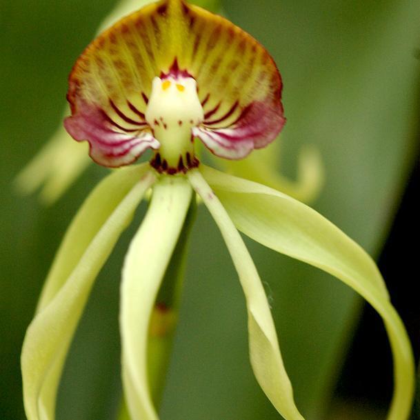 Encyclia botaniques Encyclia cochleata (syn. Prosthechea encyclia)