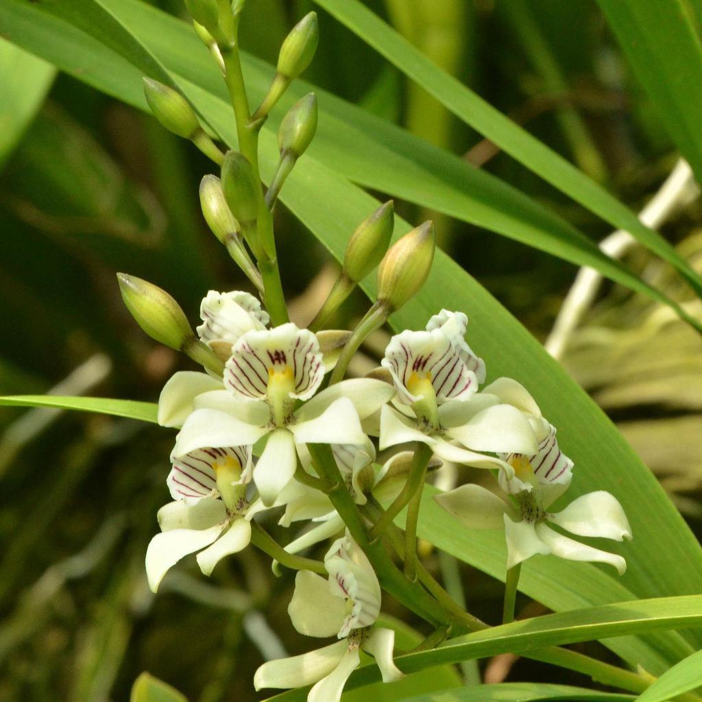Encyclia botaniques Encyclia radiata (syn. Prosthechea radiata)