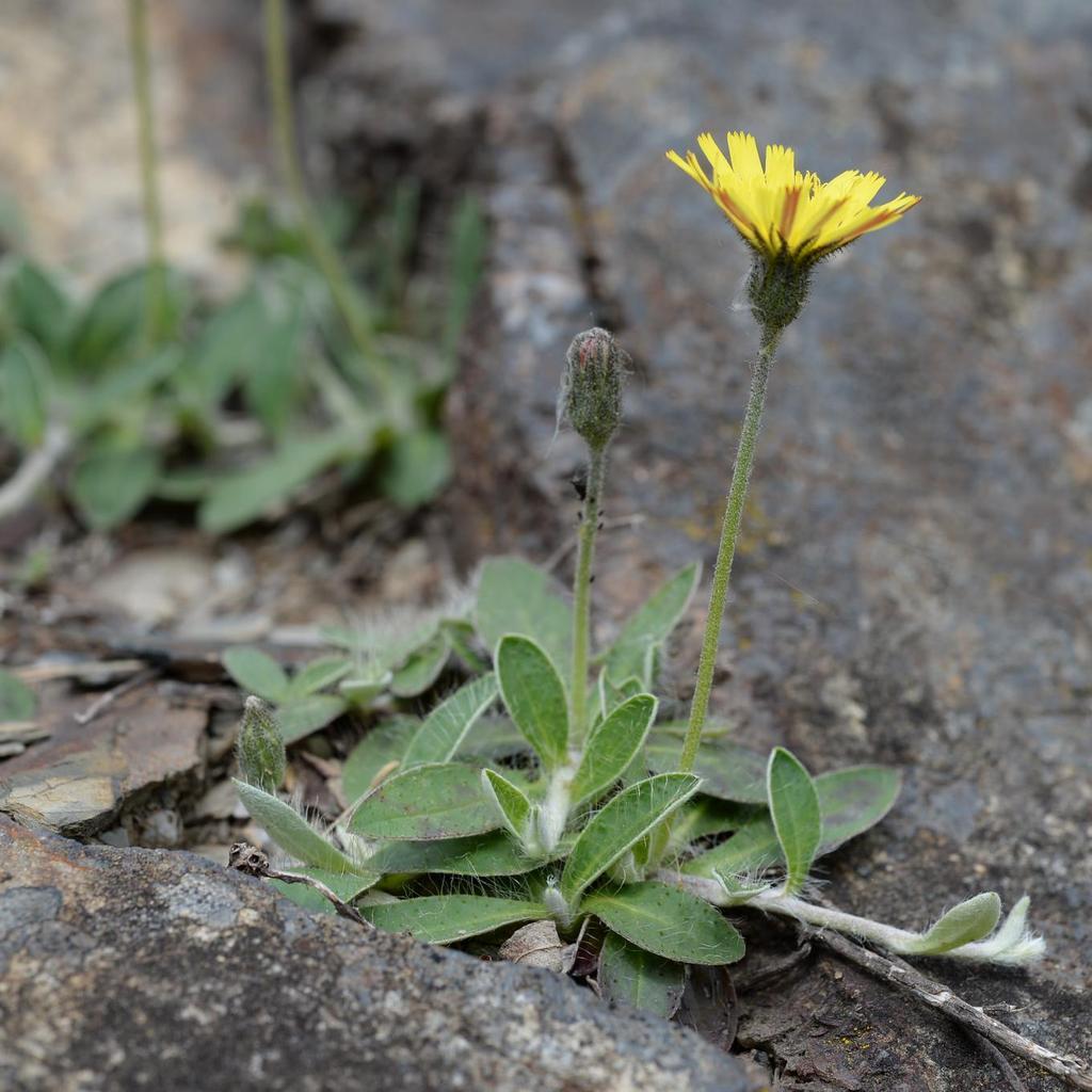 Épervière piloselle (Pilosella officinarum)