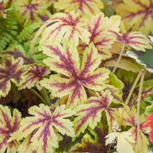 x Heucherella 'Golden Zebra'