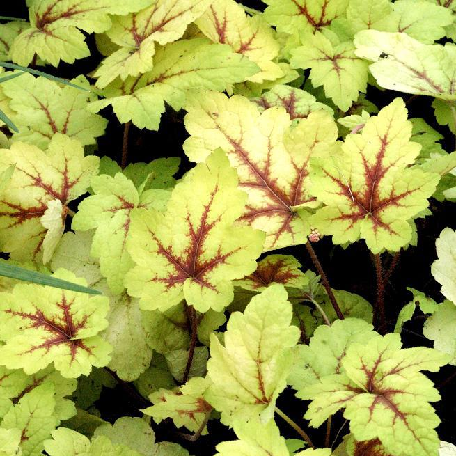 x Heucherella 'Stoplight'