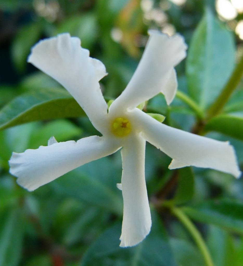 Planter un jasmin etoile