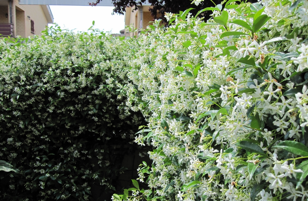 Jasmin toil planter et entretenir ooreka - Jasmin d hiver blanc ...
