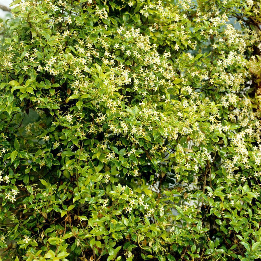 Trachelosperme, faux jasmin, jasmin étoilé (Trachelospermum jasminoides) 'Variegatum'