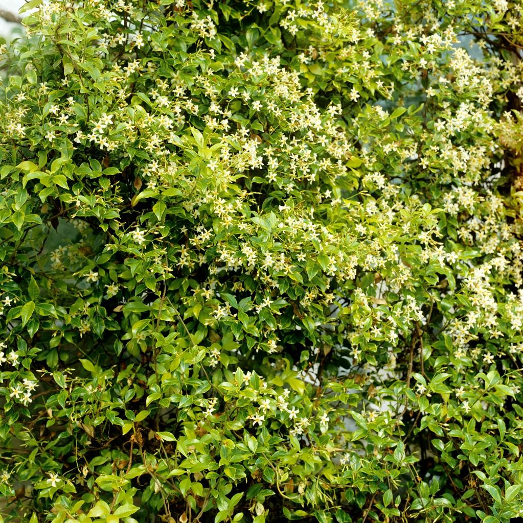 Jasmin étoilé : planter et entretenir - Ooreka