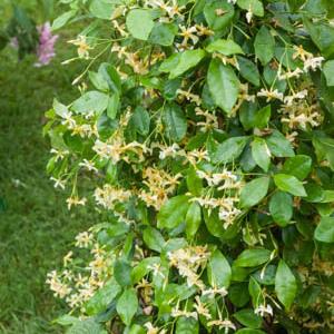Trachelosperme, faux jasmin, jasmin étoilé (Trachelospermum jasminoides) 'Selbra'STAR OFTOSCANE®