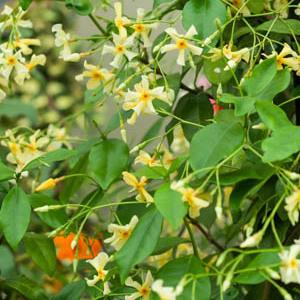 Trachelospermum asiaticum Espèce type