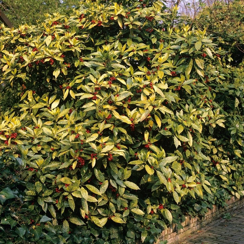 Aucuba du Japon (Aucuba japonica) 'Crotonifolia'