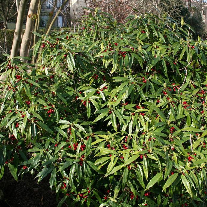 Aucuba du Japon (Aucuba japonica) 'Salicifolia'