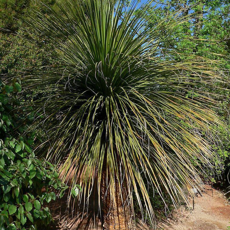 Nolina matapensis (en anglais: Sonoran Tree Beargrass)