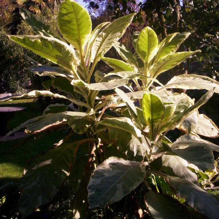 Tabac géant (Nicotiana gigantea ou tabacum) Espèce type