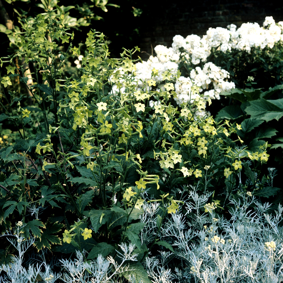 Tabac ailé, tabac d'ornement, tabac blanc odorant (Nicotiana affinis ou alata) 'Lime Green'