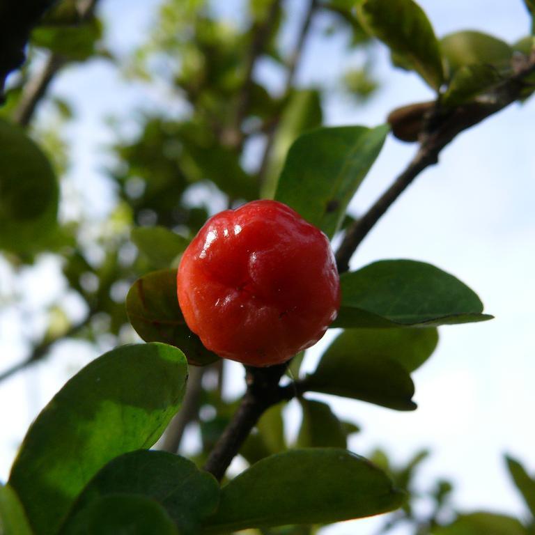Malpighia punicifolia 'JH Beaumont'