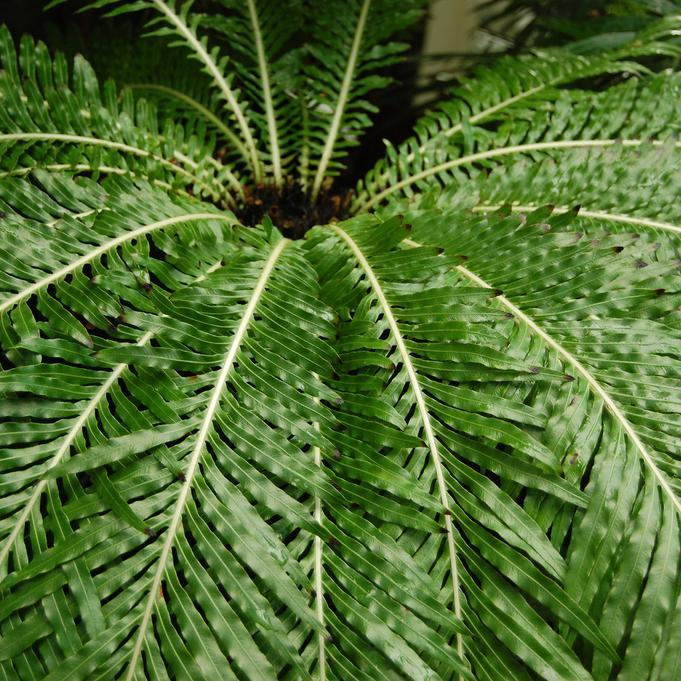 Fougère arborescente naine, bléchne gibbeuse, Silver Lady (Blechnum gibbum ou lomaria gibba)