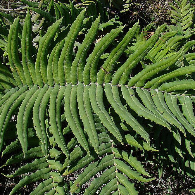 Bléchne du Chili (Blechnum chilense)
