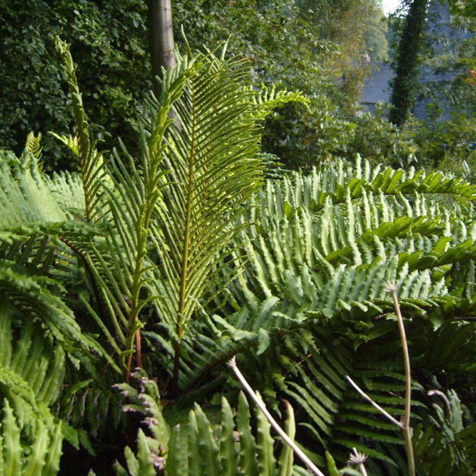 Bléchne de Magellan (Blechnum magellanicum)