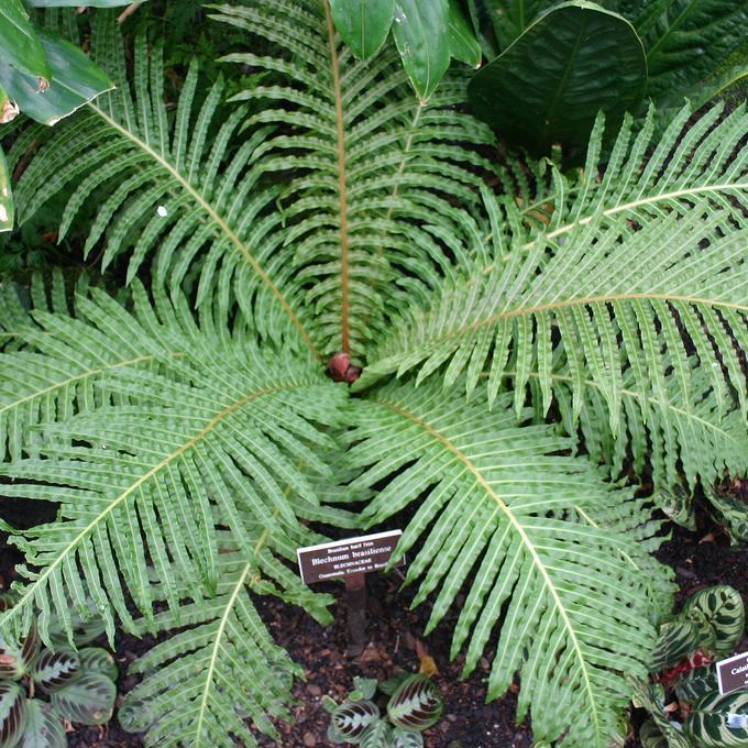 Bléchne du Brésil (Blechnum brasiliense ou corcovadense)