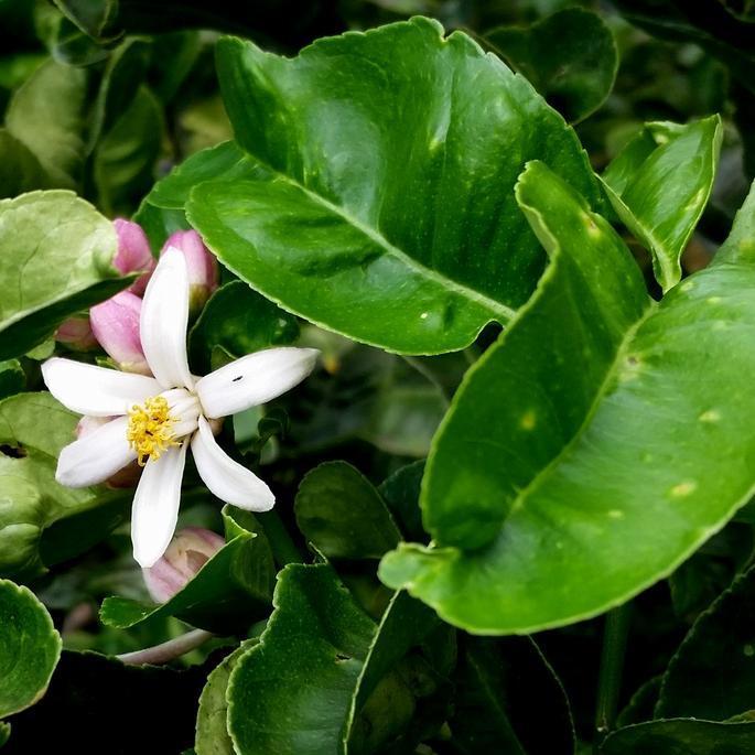 Cédratier (Citrus medica)