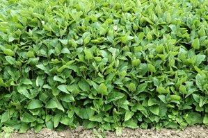 Semis et plantation du crosne
