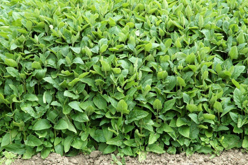 Crosne du japon planter et cultiver ooreka for Plante a planter