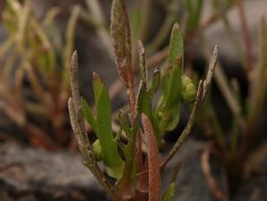 Plantation de <em>Cotula coronopifolia</em>