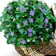 Violette de Perse